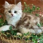 Ragamuffin kitten