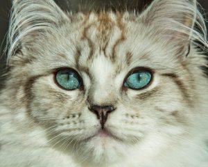 Award winning RagaMuffin cats